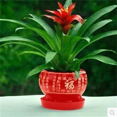 【特价抢购】鸿运当头四季开花盆栽花卉水培植物室内绿植鲜花凤梨