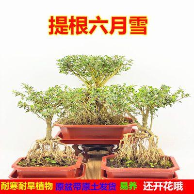 提根六月雪盆栽室内小绿植物苗花卉盆景造型老桩四季常青好养包邮
