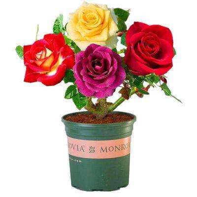 【浓香型】嫁接玫瑰花苗盆栽花卉绿植四季开花室内庭院月季花大花