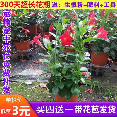 万里飘香藤花绿植盆栽室内四季开花花卉爬墙垂吊植物庭院好养易活