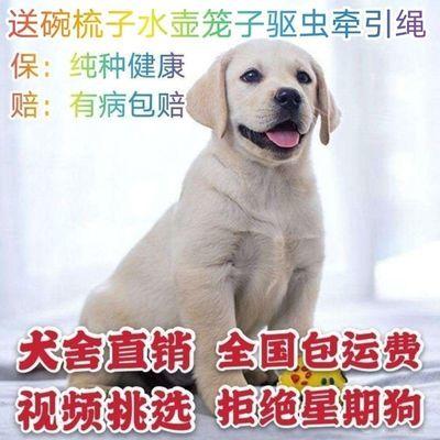 纯种拉布拉多活体幼犬宠物狗活体幼犬导盲犬大型犬包邮