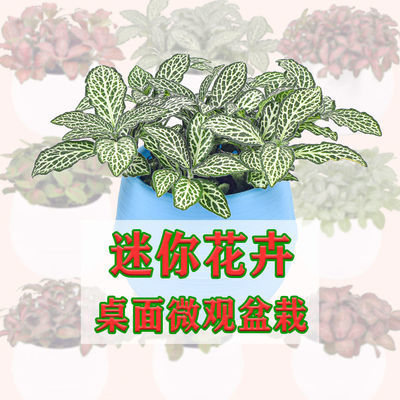 网纹草盆栽盆栽花卉微景观桌面迷你花卉水培植物净化空气吸甲醛草