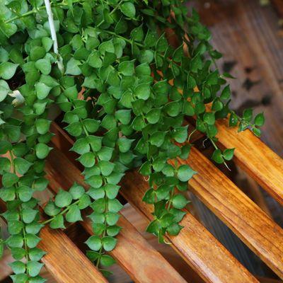爆款百万心吊兰植物常青盆栽 室内阳台植物 耐阴垂吊植物串钱藤纽