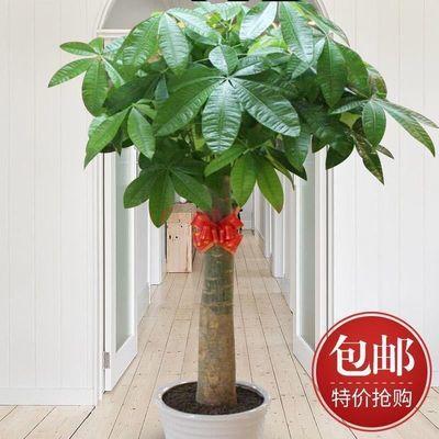 发财树盆栽大客厅绿植大型植物四季常青盆景花卉开业送礼大绿植
