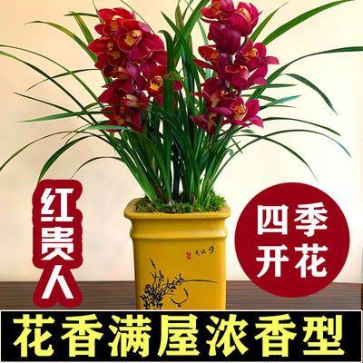 兰花盆栽四季兰墨兰建兰浓香兰花苗室内客厅阳台绿植盆栽花卉