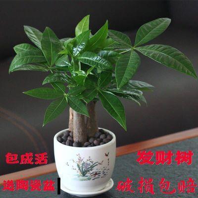发财树盆栽植物室内客厅绿植小盆景办公室招财花卉吸甲醛植物