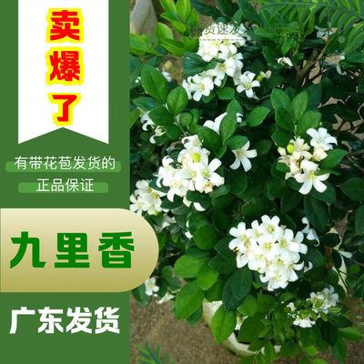 九里香盆栽花卉植物室内花浓香型花苗四季开花带花苞阳台绿植庭院