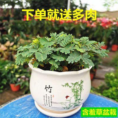 含羞草【种好整套发】包活易种绿植花卉小盆栽室内桌面趣味植物
