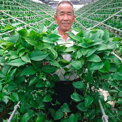 FASHIONEARTH绿萝盆栽花卉绿植长藤垂吊吊兰植物室内吸甲醛防辐射