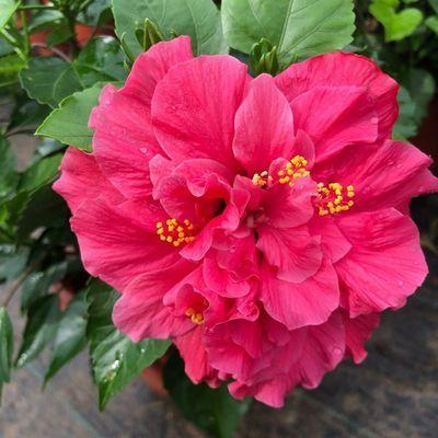 重瓣扶桑花盆栽花卉带花苞发货四季常开花卉朱槿牡丹好养观花植物