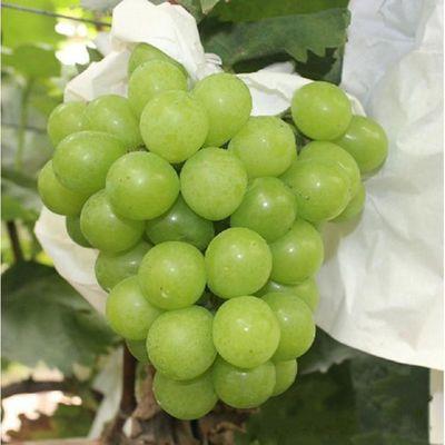 现货晴王云南阳光玫瑰青提子葡萄新鲜无籽水果非巨峰日本香印包邮