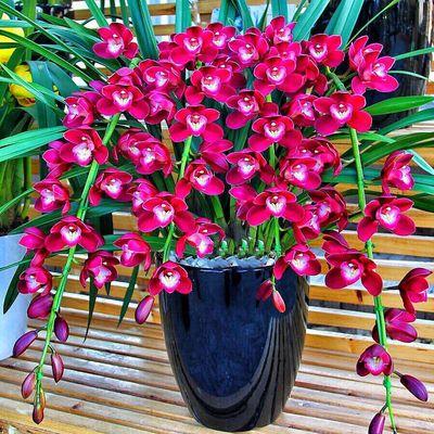 世界特香兰花 好运连连 室内盆栽花卉 四季开 当年开花 满屋飘香