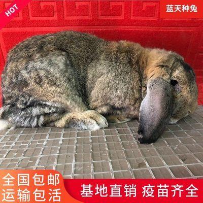 纯种公羊兔活体巨型大流士兔肉兔种兔公羊兔活物怀孕公羊兔