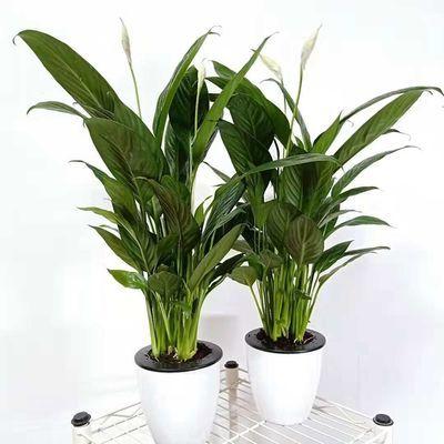 白掌 红掌 盆栽室内水培植物花卉客厅绿植四季开花一帆风顺盆栽