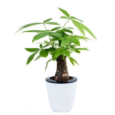 发财树盆栽绿植室内花卉客厅桌面盆景大发财树苗招财树吸甲醛植物
