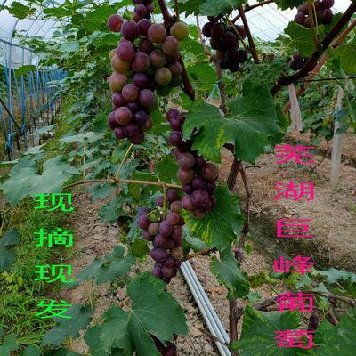 安徽芜湖巨峰葡萄新鲜水果批发孕妇儿童现摘现发非夏黑葡萄包邮