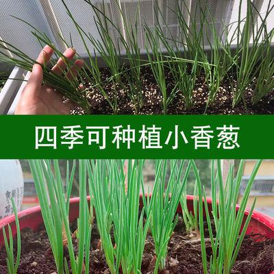 四季小香葱种子红葱种籽阳台盆栽蔬菜葱头菜种子小葱香料易成活