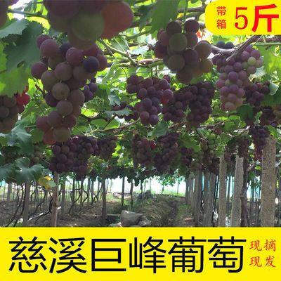 【自有农场】慈溪巨峰葡萄带箱5斤爆汁超甜全国包邮新鲜应季水果