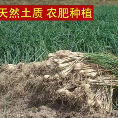 5斤包邮农家新鲜蔬菜现挖无叶荞头藠头教头种子茭头做泡菜用荞子