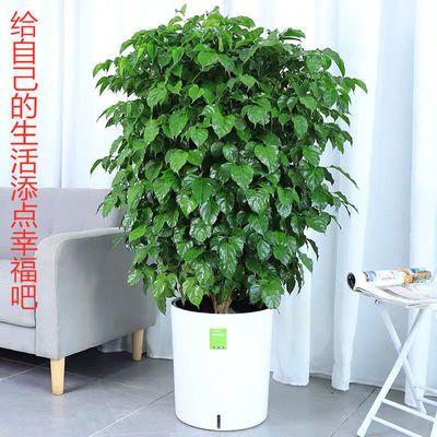 大型幸福树盆栽植物室内大客厅平安发财树盆景花卉绿植开业送礼