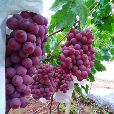 云南高山红提1/5斤葡萄应当季新鲜水果黑提子整箱包邮[7月18日发