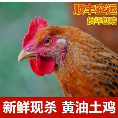 【热卖】现杀农家散养黑脚老母鸡3年土鸡正宗大公鸡老鸡新鲜鸡肉