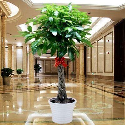 发财树室内外花卉盆景植物盆栽大招财树摇钱树花苗客厅大型绿植
