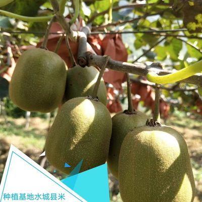 凉都红心猕猴桃、奇异果水果中珍品贵州特产六盘水水城孕妇果