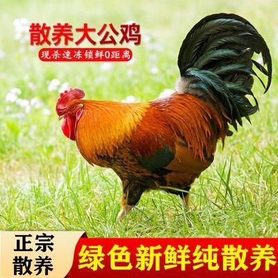 【农家散养大公鸡】新鲜宰杀大公鸡土鸡笨公鸡走地鸡公鸡活体现杀