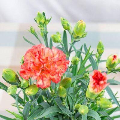 多头带花苞康乃馨盆栽母亲节礼物室内阳台鲜花花苗绿植