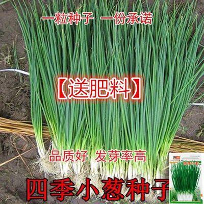四季小香葱种子阳台室内花卉盆栽小葱香葱蔬菜种子四季可播种种籽