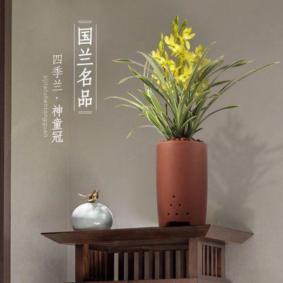 兰花盆栽神童冠四季兰室内浓香花卉植物名贵兰花苗带花苞金边花草