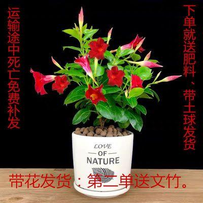 带花发货万里飘香藤双喜藤物室内外庭院阳台绿植四季开花好养盆栽
