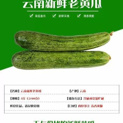 【大促销】孕妇时令蔬菜装云南本地老黄瓜 水果黄瓜 新鲜小青瓜