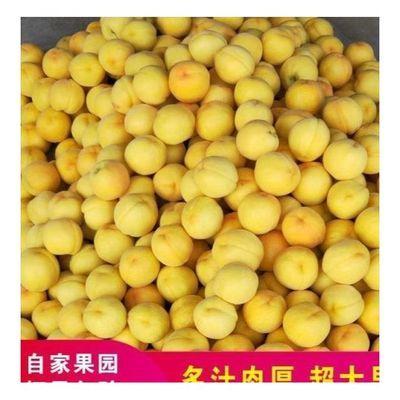 山东现摘黄桃新鲜水果整箱包邮非油桃黄心肉脆桃当季水果