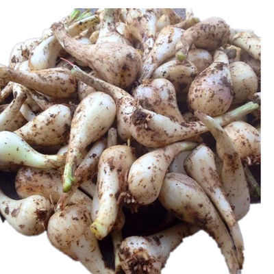 2020秋季鲜果新品农家自种藠头 新鲜蔬菜现挖 茭头无叶荞头包邮