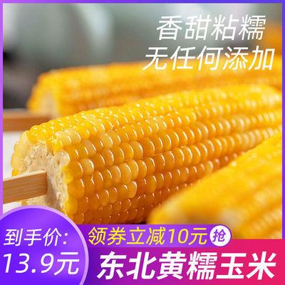 东北粘糯黄玉米棒新鲜黄黏甜玉米真空包装早餐代餐玉米即食杂粮