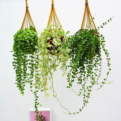 串钱藤翡翠百万心吊兰壁挂植物爬藤垂吊绿植四季常青室内净化空气