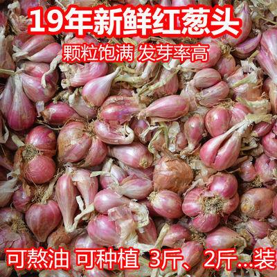 四川小香葱红葱头黄葱种子盆栽火葱四季葱种榨葱油干葱头熬油种植