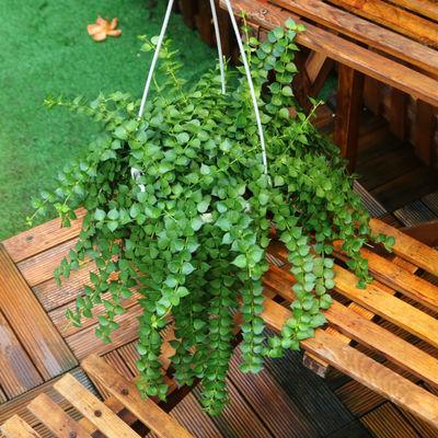 热销百万心吊兰植物常青盆栽 室内阳台植物 耐阴垂吊植物串钱藤纽