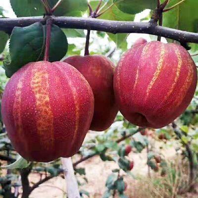 5斤净重彩虹梨精选陕西香酥红梨新鲜水果脆甜多汁红梨子红早酥梨5