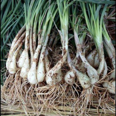 藠头新鲜湖南蔬菜带叶荞头现挖茭头腌制酸蕌头农家野菜新鲜蔬菜