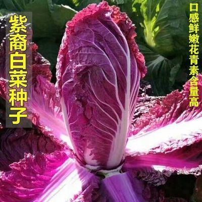 营养紫白菜种子里外紫色大白菜四季播种庭院田地农科院有机蔬菜籽