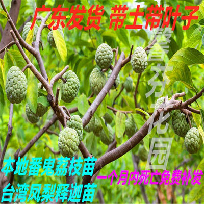 买1送1盆栽果树番荔枝苗台湾凤梨释迦果苗本地大目释迦林檎苗包活