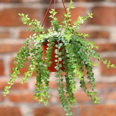 百万心吊兰植物室内阳台好养活垂吊爬藤绿植四季长青进化空气包邮