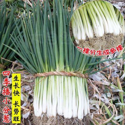 分葱种子种籽四季小香葱种子阳台盆栽春夏秋冬小葱种籽蔬菜种