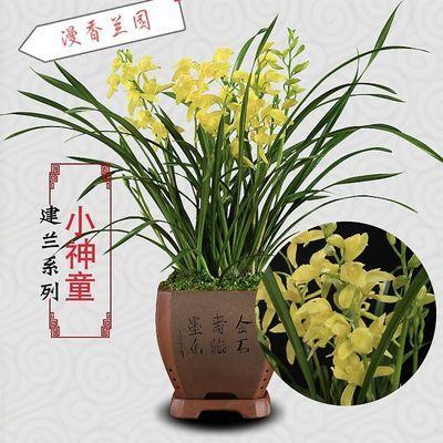 四季兰建兰兰花花苗黄金小神童兰花浓香带花苞室内绿色盆栽