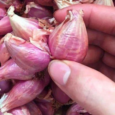四川新鲜小香葱干红葱头 四季葱红火葱 榨葱油酥5斤包邮盆栽