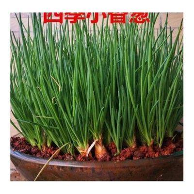 四川新鲜红葱头种子盆栽蔬菜干小葱头火葱种子香葱头1-5斤包邮