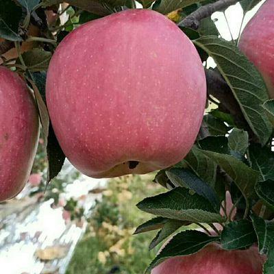 花牛苹果中秋节应季水果蛇果宝宝辅食新鲜水果现摘现发脆甜红星苹